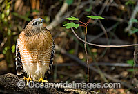 Red-shouldered Hawk Buteo lineatus image