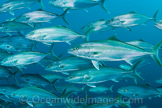 Amberjack (Seriola dumerili), schooling juveniles. This fast swimming pelagic fish is excellent eating and commercially fished. It is found throughout the Alantic, Pacific and Indian Oceans.