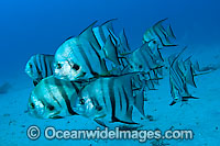 School of Spadefish Chaetodipterus faber Photo - Michael Patrick O'Neill