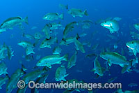 Schooling Cubera Snapper Photo - Michael Patrick O'Neill
