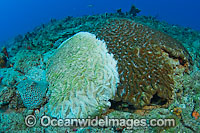Brain coral with white plague photo