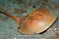 Horseshoe Crab Limulus polyphemus Photo - Michael Patrick O'Neill