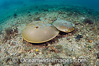 Horseshoe Crab mating pair Photo - Michael Patrick O'Neill