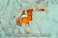 False Clownfish in bleached anemone Photo - Michael Patrick O'Neill