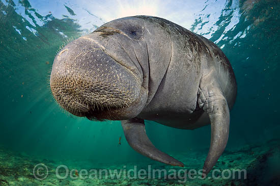 Florida Manatee (Trichechus manatus latirostris). Also known as Sea Cow. Classified as Endangered Species on the IUCN Red list. Photographed in Three Sisters Spring in Crystal River, Florida, USA.