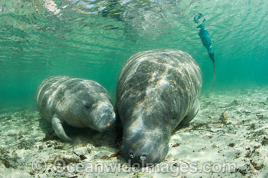 Florida Manatee (Trichechus manatus latirostris) mother and calf equipped with tracking device so researchers can monitor the animals movements. Also known as Sea Cow. Endangered species on IUCN Red List. Three Sisters Spring, Crystal River, Florida, USA