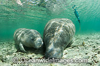 Florida Manatee mother and calf photo