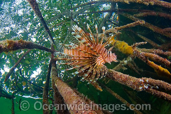 Volitans Lionfish (Pterois volitans), hunting small fish amongst the roots of a Red Mangrove (Rhizophora mangle) forest. Southwest Caye, Belize, Central America.