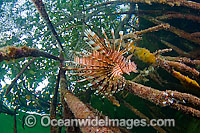Lionfish hunting in red mangrove