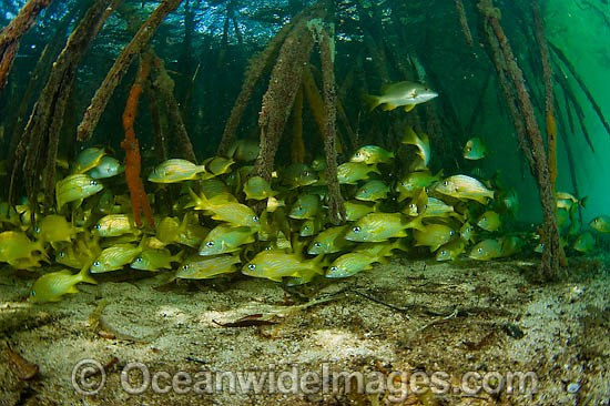 French Grunts (Haemulon flavolineatum), sheltering amongst the roots of a Red Mangrove (Rhizophora mangle) forest. Southwest Caye, Belize, Central America.