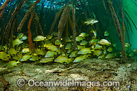 French Grunts in mangroves Photo - Michael Patrick O'Neill