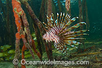Volitans Lionfish hunting in mangrove