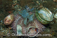 Sea Urchin covered in garbage Photo - Michael Patrick O'Neill