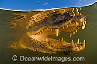 American Alligator underwater Photo - Michael Patrick O'Neill