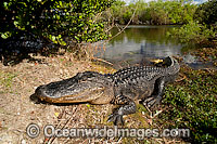 American Alligator basking in sun Photo - Michael Patrick O'Neill