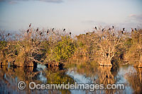 Anhinga rookery in Alligator habitat Photo - Michael Patrick O'Neill