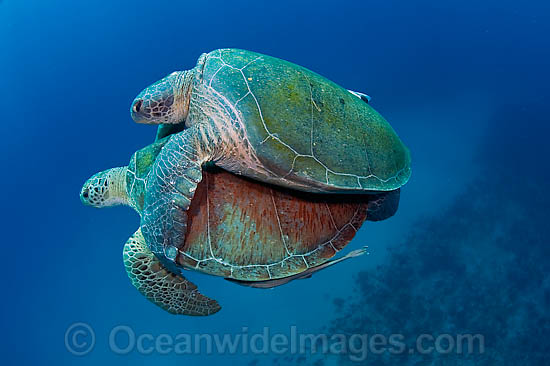 Mating Green Sea Turtles (Chelonia mydas). Found in tropical and warm temperate seas worldwide. Photo taken at Palm Beach, Florida, USA. Listed on the IUCN Red list as Endangered species. Photo - Michael Patrick O'Neill