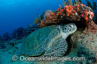 Green Sea Turtles resting on ledge photo
