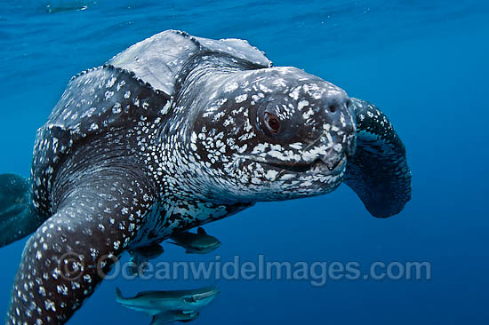 Leatherback Sea Turtle (Dermochelys coriacea), male. The Leatherback is one of the world's largest reptiles, reaching close to 2,000 lbs. and nearly 10 ft. in length. Listed on IUCN Red list as Critically Endangered and threatened by coastal development. Photo - Michael Patrick O'Neill