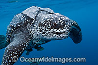 Leatherback Sea Turtle photo