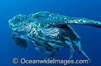 Leatherback Sea Turtle with suckerfish