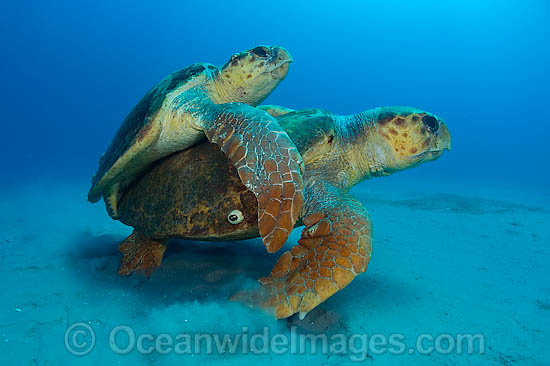 Green sea turtle courtship vs dating 2