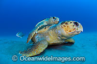 Loggerhead Sea Turtle mating Photo - Michael Patrick O'Neill