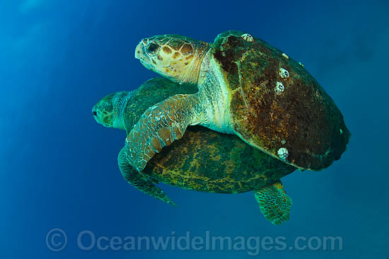 Mating Loggerhead Sea Turtles (Caretta caretta). Found in tropical and warm temperate seas worldwide. Listed as Endangered species on the IUCN Red list. Photo - Michael Patrick O'Neill