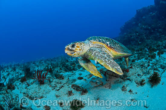 Loggerhead Sea Turtle (Caretta caretta). Found in tropical and warm temperate seas worldwide. Photo taken at Palm Beach County, Florida, USA. Listed as Endangered species on the IUCN Red list. Photo - Michael Patrick O'Neill