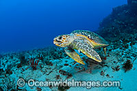 Loggerhead Sea Turtle Photo - Michael Patrick O'Neill