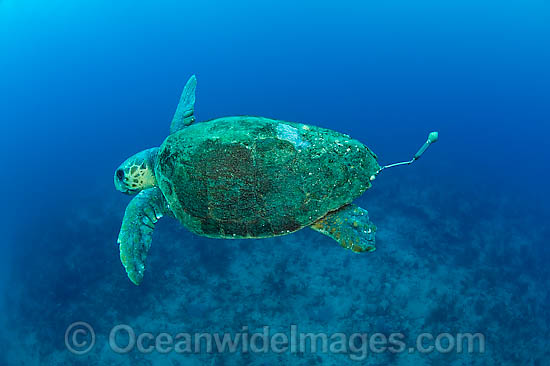 Female Loggerhead Sea Turtle (Caretta caretta), equpped with a pop-up archival tag device to help biologists at conservation organizations to check on mortality rates and clutch frequency. Photo taken off Florida, USA. Endangered species on IUCN Red List. Photo - Michael Patrick O'Neill