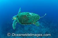 Loggerhead Sea Turtle with research tag Photo - Michael Patrick O'Neill