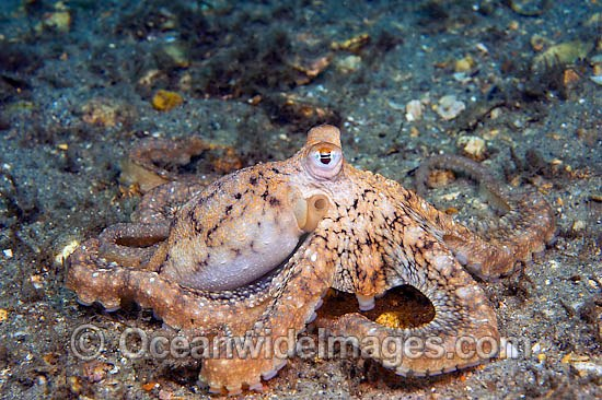 http://www.oceanwideimages.com/images/15400/large/45M1633-03-caribbean-long-arm-octopus.jpg