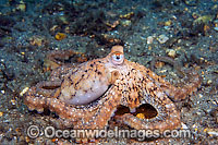 Long Arm Octopus photo
