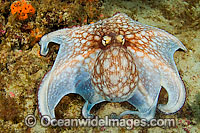 Common Octopus photo