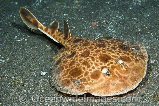 Undescribed species of Marble Torpedo Ray from Horseshoe Bay in Komodo National Park, Indonesia. This species can reportedly discharge a strong jolt of electricity if provoked.