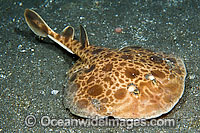 Marbled Torpedo Ray Photo - Michael Patrick O'Neill