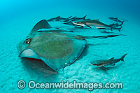 Roughtail Stingray with Cobia