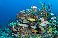 Coral Reef and schooling Grunts Photo - Michael Patrick O'Neill