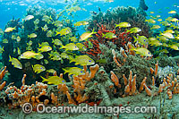 Fish among sponges and corals photo