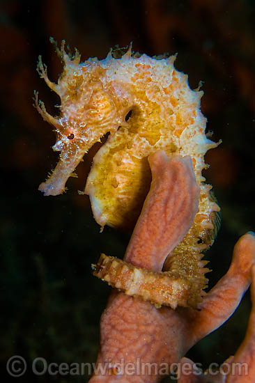 Lined Seahorse (Hippocampus erectus). Photographed underneath the Blue Heron Bridge in Singer Island, in Palm Beach County, Florida, USA