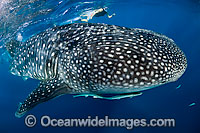 Whale Shark Photo - Michael Patrick O'Neill