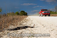 Water Moccasin or Cottonmouth photo
