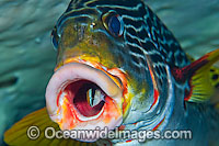 Sweetlips cleaned by Wrasse Photo - Michael Patrick O'Neill
