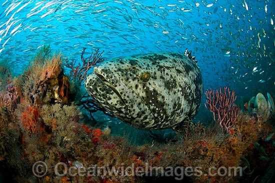 Atlantic Goliath Grouper (Epinephelus itajara), surrounded by schooling Sardines. This Grouper is protected and listed as a threatened species. Photo taken at Jupiter, Florida, USA Photo - MIchael Patrick O'Neill