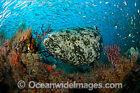 Atlantic Goliath Grouper surrounded by sardines Photo - MIchael Patrick O'Neill