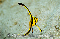 Jack Knife Fish Equetus lanceolatus photo