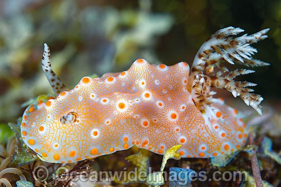 Nudibranch (Halgerda batangas). Also known as Sea Slug. Found in Philippines & Indonesia to Qld, Australia, PNG & Fiji. Photo taken in the Philippines. Known as part of the Coral Triangle. Photo - Gary Bell