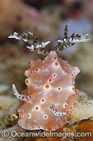 Nudibranch Halgerda batangas photo