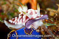 Nudibranch Chromodoris geometrica photo